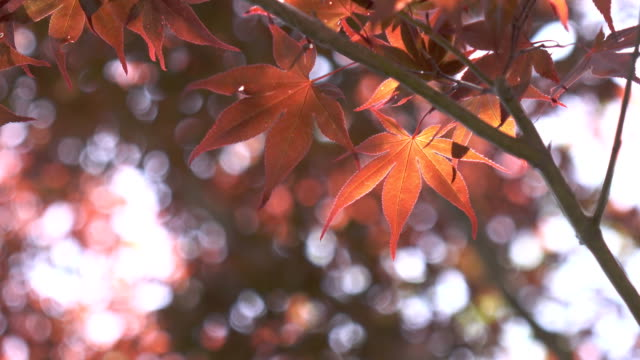 4k maple leaves in japan - formal garden stock videos & royalty-free footage