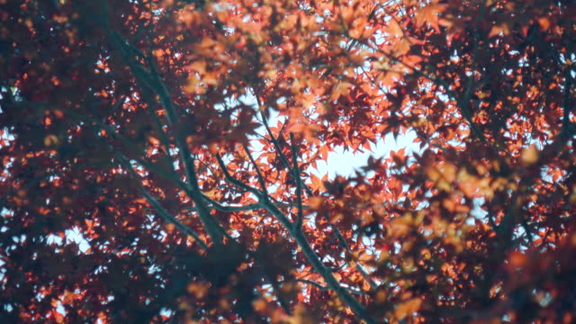 4k maple leaves in japan - maple stock videos & royalty-free footage