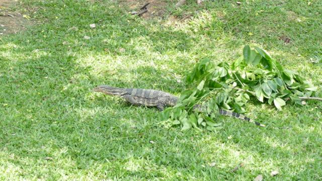 4k: monitor lizard in nature.