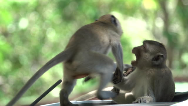 4k: monkey on the car fighting - monkey stock videos & royalty-free footage
