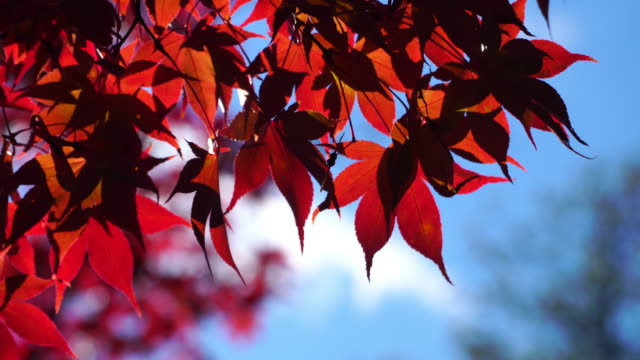 4k of red maple leaf background in autumn season. - month stock videos & royalty-free footage
