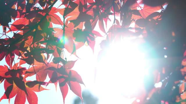 4k des sonnenlichts durch rot-ahorn blatt hintergrund in der herbstsaison. - hoffnung stock-videos und b-roll-filmmaterial