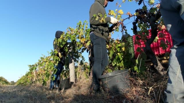 4k pickers harvesting grapes at vineyard, heathcote, australia - picking stock videos & royalty-free footage