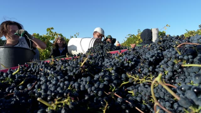 4k pickers harvesting grapes at vineyard, heathcote, australia - agricultural activity stock videos & royalty-free footage