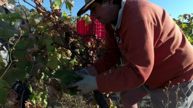 4k cu picking shiraz grapes from vines at vineyard, heathcote, australia - victoria australia stock videos & royalty-free footage