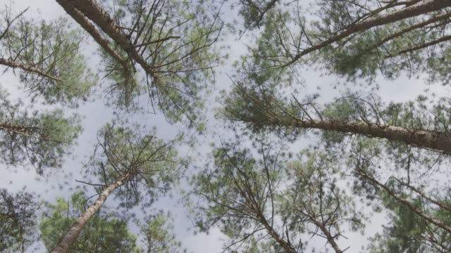 4k ,pine forest - pine tree stock videos & royalty-free footage