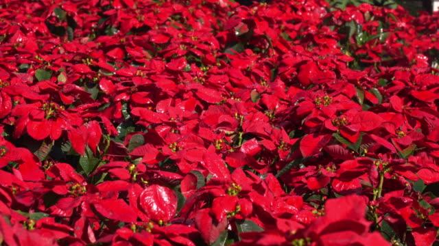 vidéos et rushes de 4 k, poinsettia de fleurs et d'eau de gicleur - parterre de fleurs