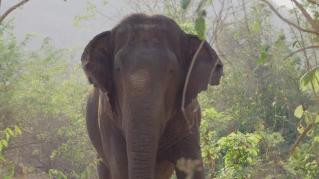 4k , portrait of asian elephant - herbivorous stock videos & royalty-free footage