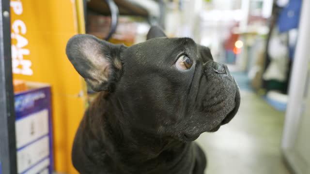 4k portrait von französischbulldog bulldogge hund blick auf die kamera sitzend auf dem boden. - schutzbrille freisteller stock-videos und b-roll-filmmaterial