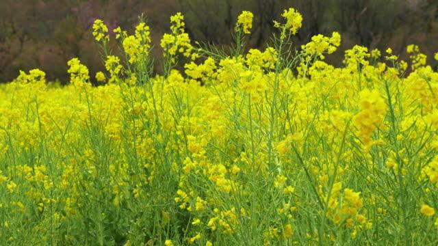 4k: verkrachting koolzaad bloemen bloesems in een veld