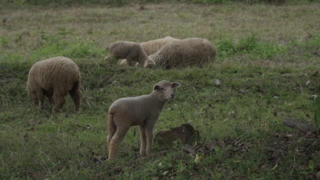 4 k 谷の羊牧場のリアルタイム。 - 地形点の映像素材/bロール