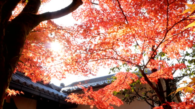 4k red maple leaves in sunlight - maple leaf stock videos & royalty-free footage