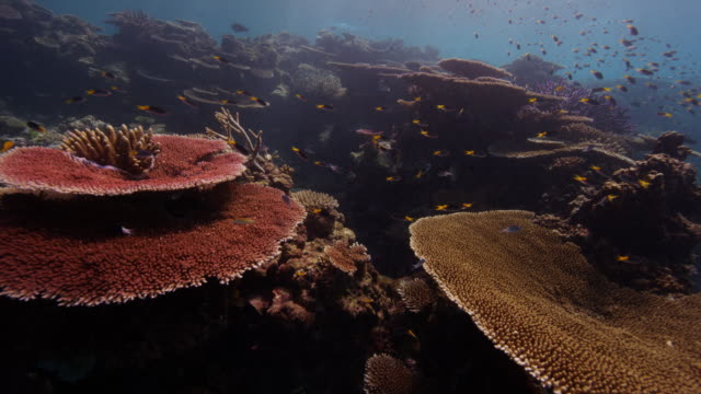 4k red underwater close-up of spotted sweetlips fish and boulder coral - tropischer fisch stock-videos und b-roll-filmmaterial