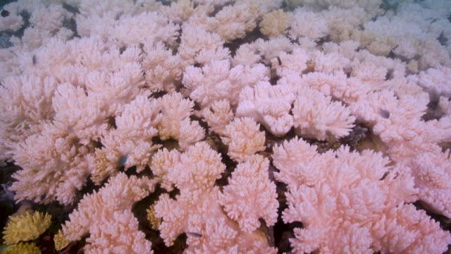 4k red underwater handheld shot of reef fish and corals bleaching - great barrier reef stock videos & royalty-free footage