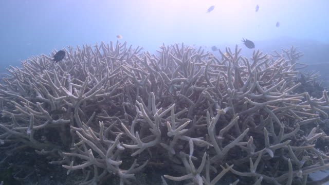 4k red underwater medium shot of staghorn coral bleaching and colorful reef fish - reef stock videos & royalty-free footage