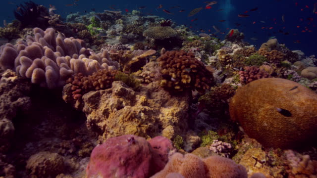 vidéos et rushes de 4k red underwater moving shot above beautiful staghorn, table and knuckle corals - french overseas territory