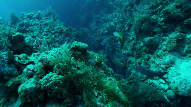 4k red underwater moving shot of reef fish swimming along sea fans and boulder coral - invertebrato video stock e b–roll