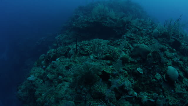 4k red underwater shot looking down on sea fans and boulder coral - invertebrato video stock e b–roll