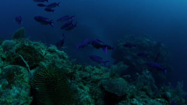 4k red underwater shot of blue reef fish and brain coral at the edge of reef dropoff - 無脊椎動物点の映像素材/bロール