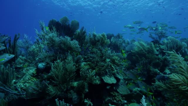 4k red underwater shot of reef fish swimming across sea fans - invertebrato video stock e b–roll