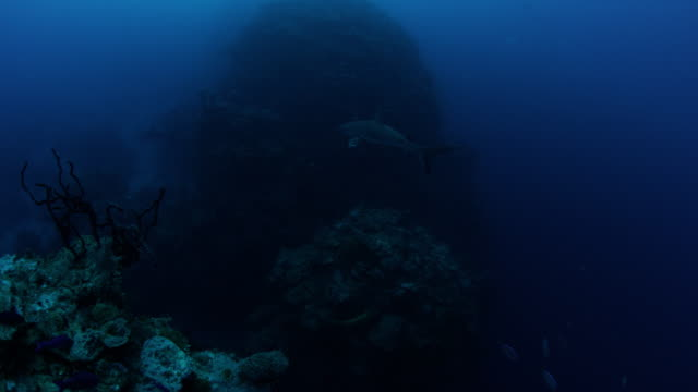 4k red underwater wide shot of caribbean reef shark swimming at the edge of reef dropoff - ペレスメジロザメ点の映像素材/bロール