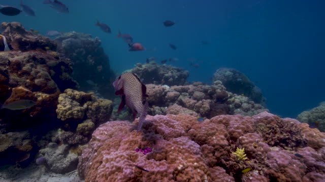 vidéos et rushes de 4k red underwater wide shot over staghorn coral and schools of colorful fish - monde marin