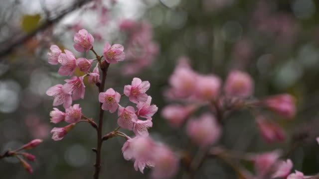 4k, sakura flower. - flower arrangement stock videos and b-roll footage