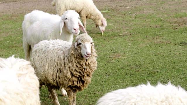 vídeos y material grabado en eventos de stock de 4k ovejas comiendo hierba - oveja merina
