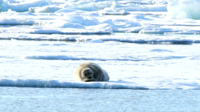 4k: shot of bearded seal lying on ice, svalbard islands - bearded seal stock videos & royalty-free footage