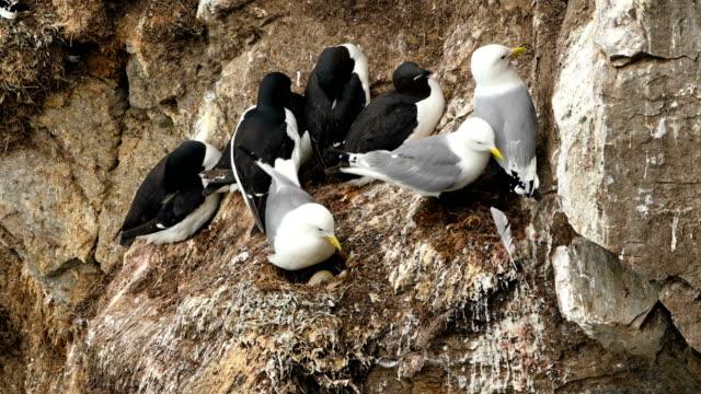 4k: schuss von glaukous möwen und guillemots nesting auf der klippe in svalbard islands - ente wasservogel stock-videos und b-roll-filmmaterial