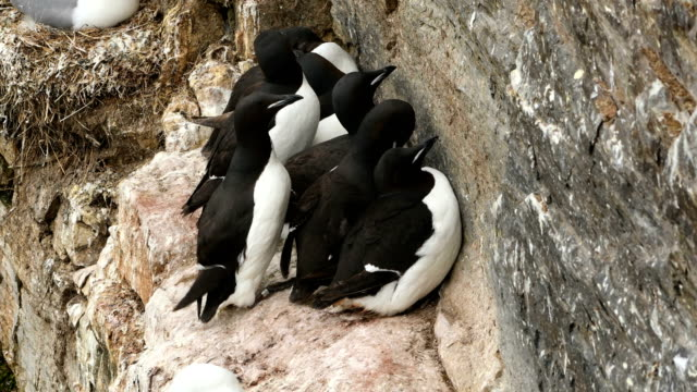 4k: スバールバル諸島の崖に guillemots の小さなグループのショット - seagull点の映像素材/bロール