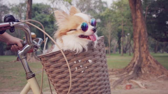 4k slo mo, chihuahua dog in basket of bicycle - eyewear stock videos & royalty-free footage