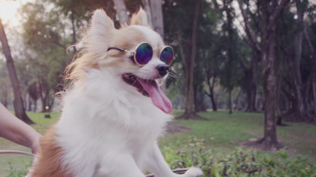 4k slo mo, chihuahua dog in basket of bicycle - sunglasses stock videos & royalty-free footage