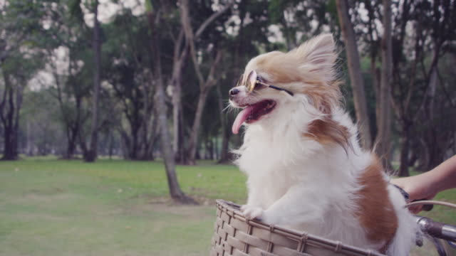 4k slo mo, chihuahua dog with sunglasses on bicycle basket - lifestyles stock videos & royalty-free footage