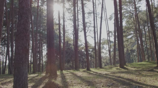 4k slo mo ,Dolly Shot of pine trees in forest