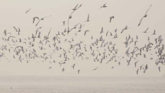 vidéos et rushes de 4 mo slo k, grand groupe d'oiseau qui vole au littoral - large group of animals