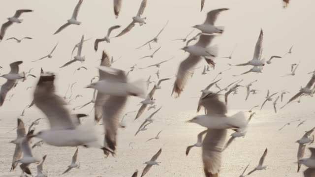 4k slo mo , large group of seagull flying at sunset - herd stock videos & royalty-free footage