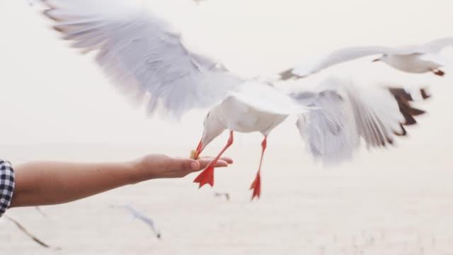 4 k-slo-mo, seagull abholung essen von hand - möwe stock-videos und b-roll-filmmaterial