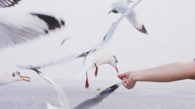 4k slo mo , Seagull picking up food from hand