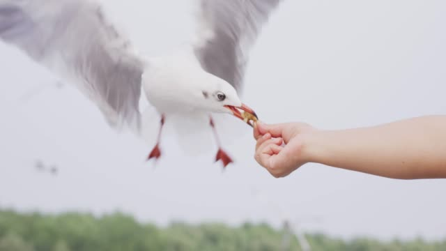 4k slo mo , Seagull picking up food from human's hand