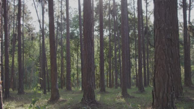 4k slo mo,dolly shot in pinetrees forest - pine stock videos & royalty-free footage
