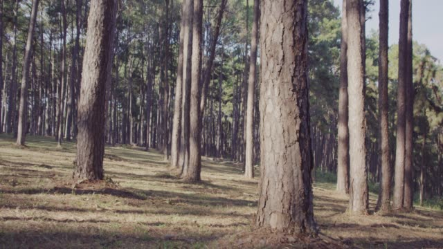 4k slo mo,dolly shot pine trees in forest - pine stock videos & royalty-free footage