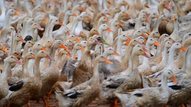 4k slow motion movie of goose in the natural farm - goose meat stock videos and b-roll footage