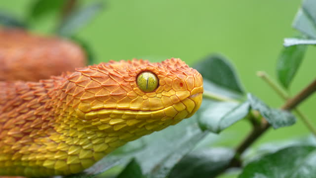 vídeos de stock, filmes e b-roll de 4k vídeo em câmera lenta de uma rearticulação da mandíbula de uma serpente venenosa bush viper (atheris squamigera) - reptile
