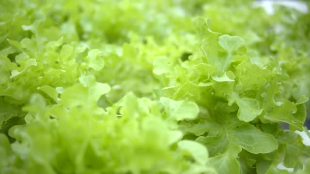 4k zeitlupe, salat, rote eiche und grüne eiche in hydroponischen gemüse-bauernhof für sauberes essen gut für gesund im grünen haus. - gewächshäuser stock-videos und b-roll-filmmaterial