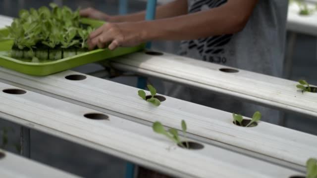 vídeos y material grabado en eventos de stock de 4k cámara lenta, lechuga, roble rojo y roble verde en la granja de verduras hidropónicas para alimentos limpios buenos para saludables en casa verde. los agricultores plantan ensalada de roble verde. - hidropónica