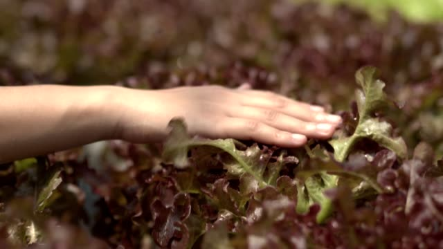 4k slow motion,lettuce,red oak and green oak in hydroponic vegetables farm for clean food good for healthy in green house.woman hand softly touch salad and walk. - lettuce stock videos & royalty-free footage