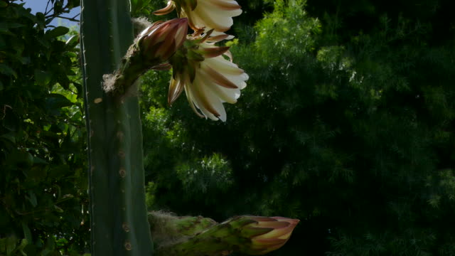 vídeos de stock e filmes b-roll de 4k slow tilt up a san pedro cactus to three large white flowers bees buzzing about bright sunlight blue sky - cato
