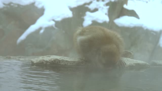 4k : snow monkey in hot spring - joshinetsu kogen national park stock videos and b-roll footage