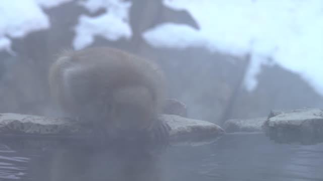 4k : Snow Monkey in Hot Spring